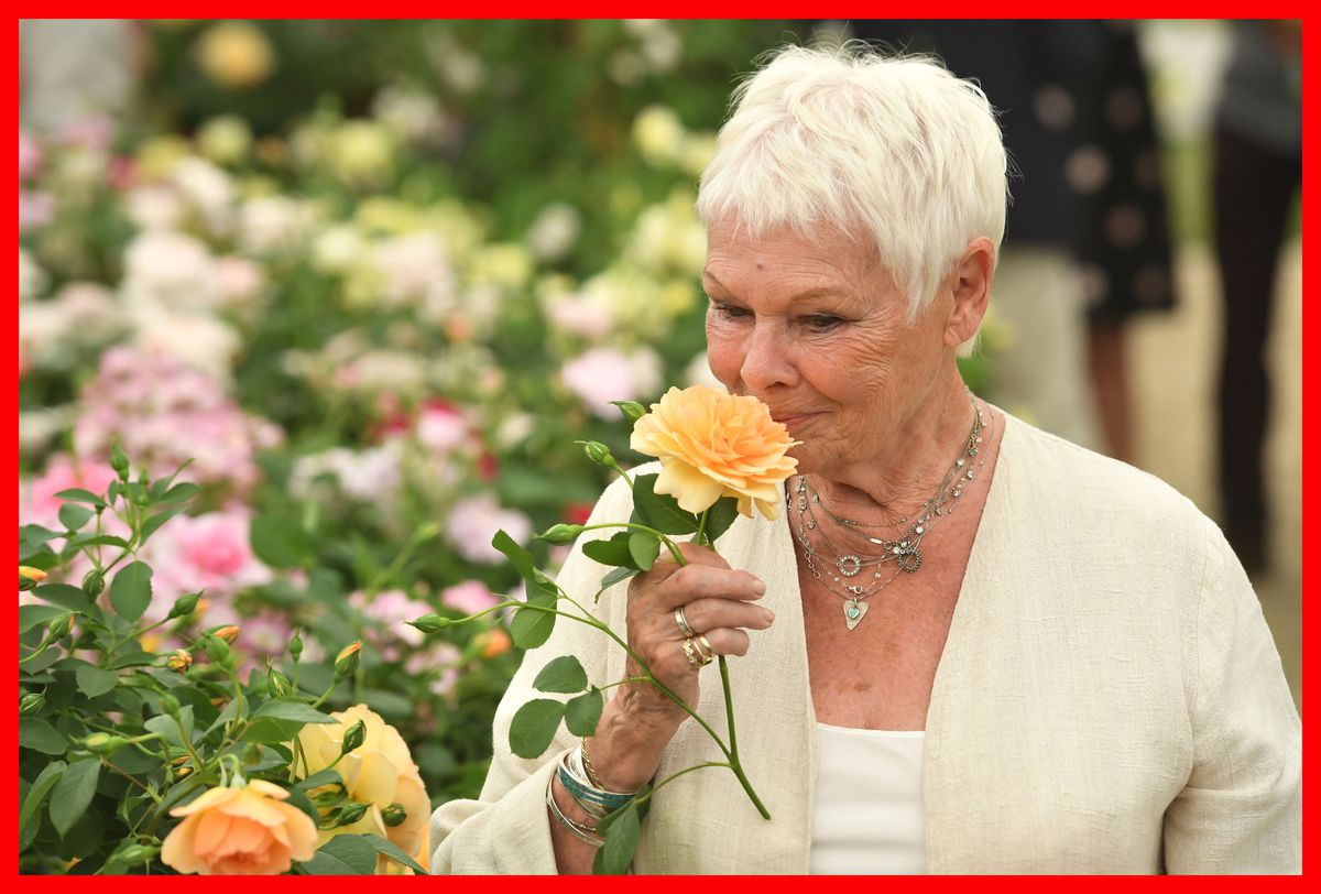 Dame Judi Dench examines David Austin's rose named after her at the 2017 Chelsea Flower Show