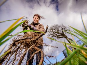 Oak tree planting at Boscobel House Shropshire. Picture by Jim Holden