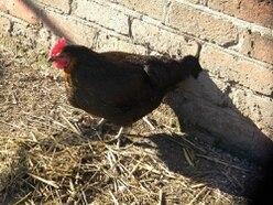 64,000-bird chicken egg unit given green light near Stafford