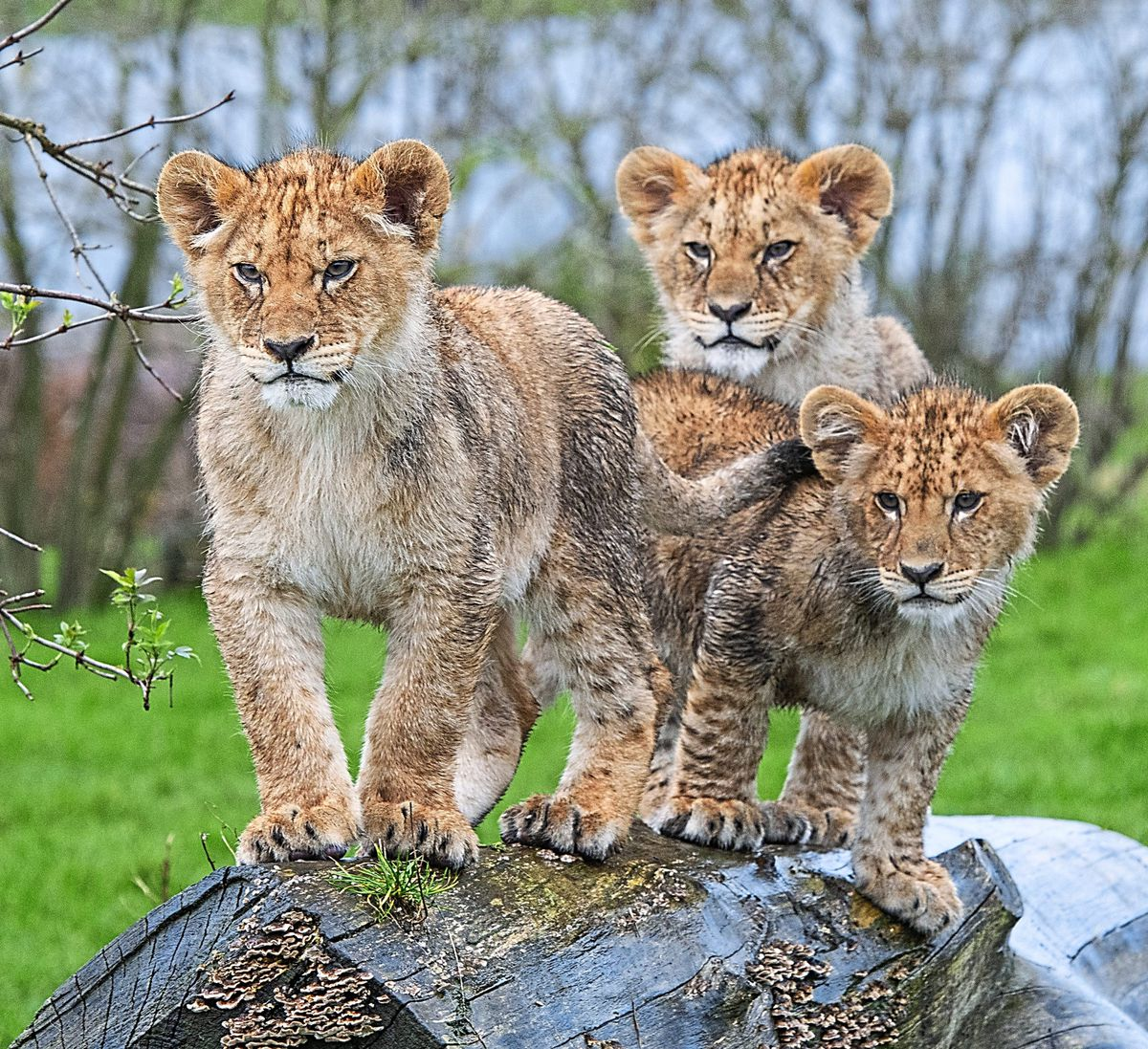 Lion cubs explore their new surroundings on a damp day at West Midlands Safari Park