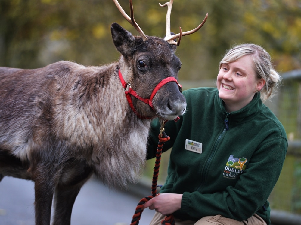Won't you guide my sleigh tonight? Meet Dudley Zoo's resident reindeer