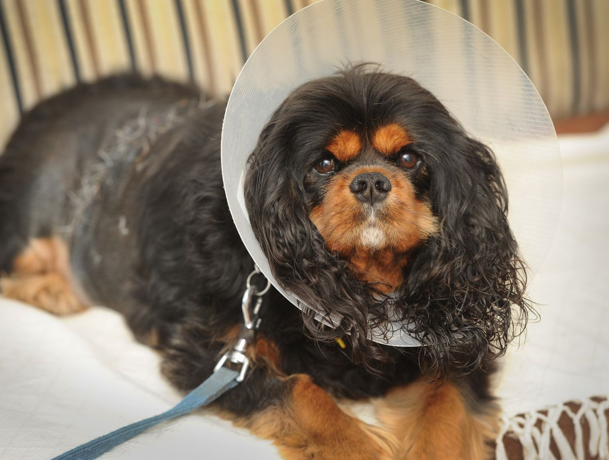 Ollie the King Charles spaniel was left needing 26 stitches
