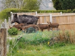 Wild boar spotted roaming Staffordshire countryside captured at farm