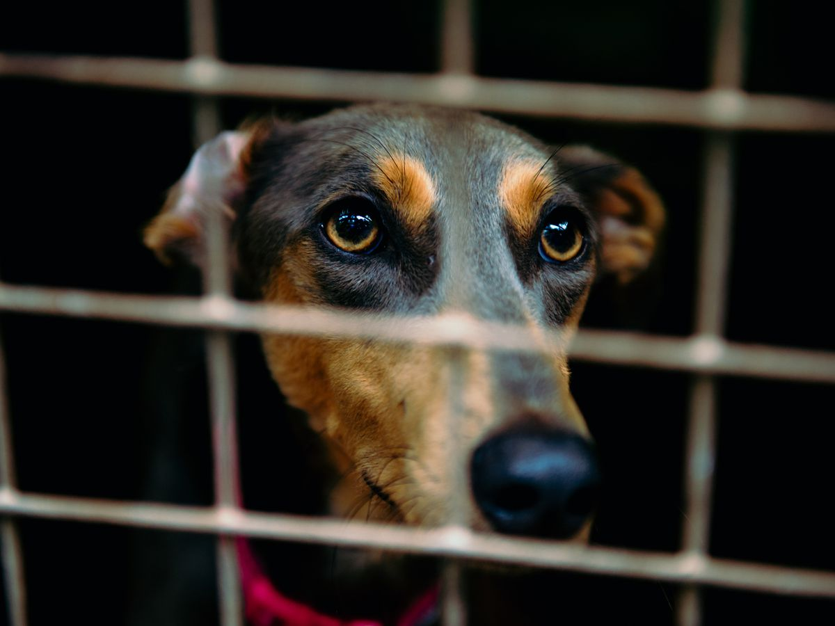 A dog in a rescue centre. New legislation will help clamp down on puppy farming