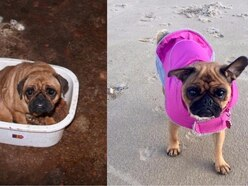 This pug's journey from a puppy farm to loving home is seriously heartwarming
