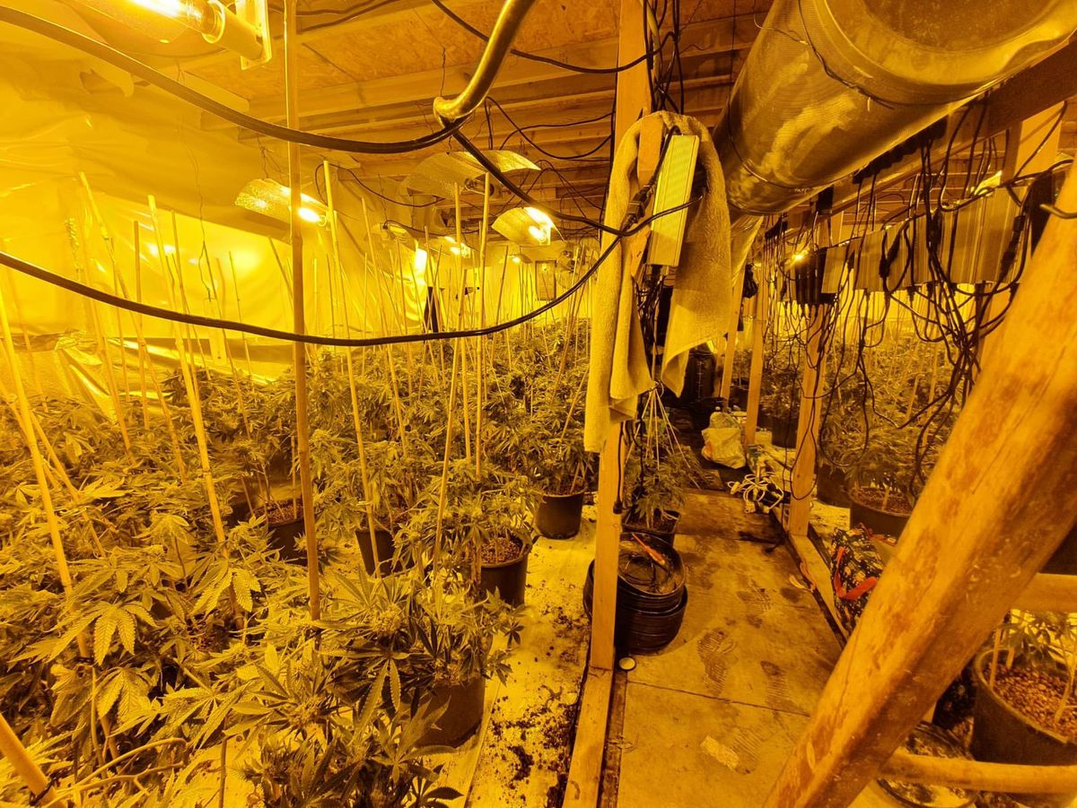 Hundreds of cannabis plants were found in a church in Rugeley. Photo: Chief Inspector Mark Smith