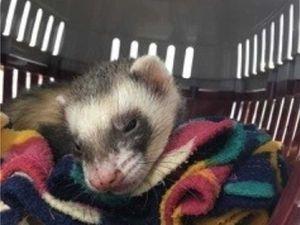 Bandit the ferret