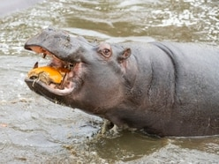 Hippos get in the spooky spirit with pumpkin treat at Safari Park