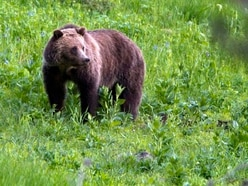 US judge restores protection for grizzly bears