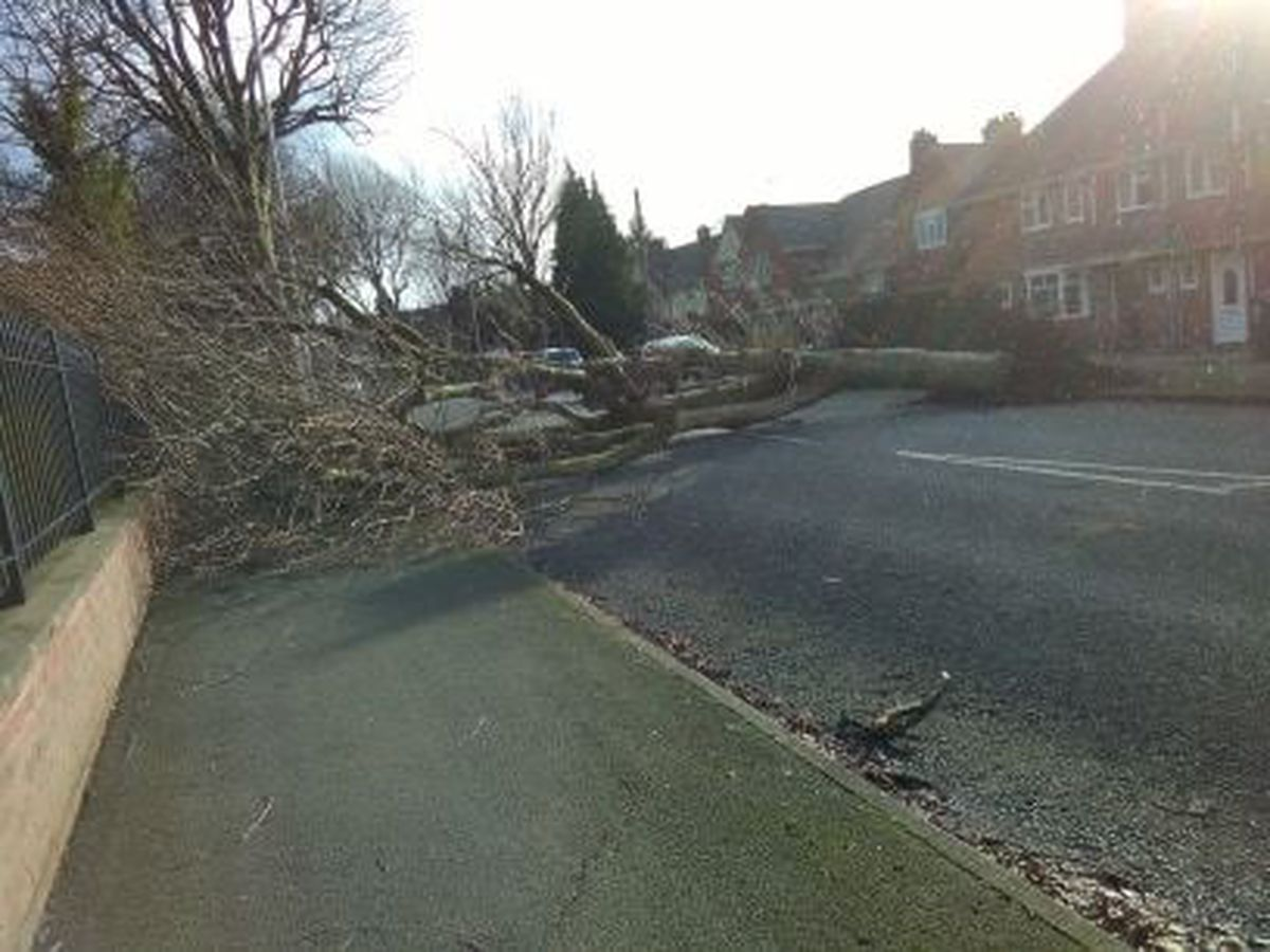 The fallen tree in Jeffcock Road. Photo: Carl Williams