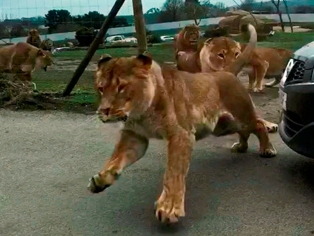 Lions jump over auto of terrified safari park visitors