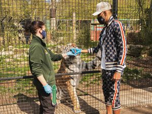 Pierre-Emerick Aubameyang feeds a tiger