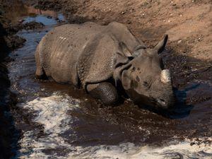 Seto, an Indian rhinoceros cools down