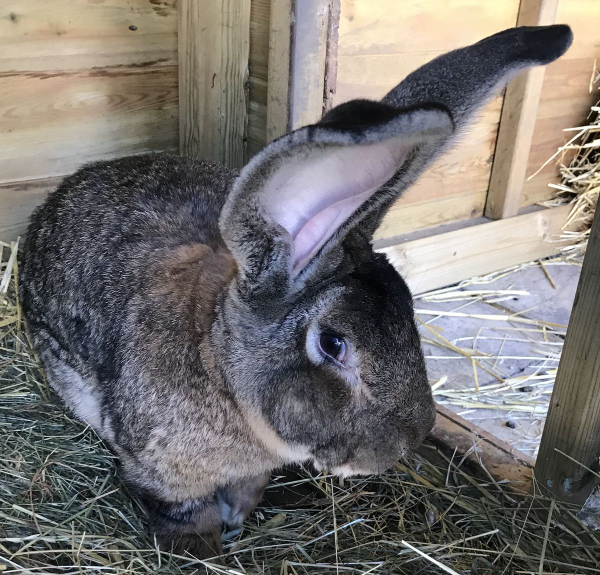 Darius, the world's largest rabbit, has been stolen from his home