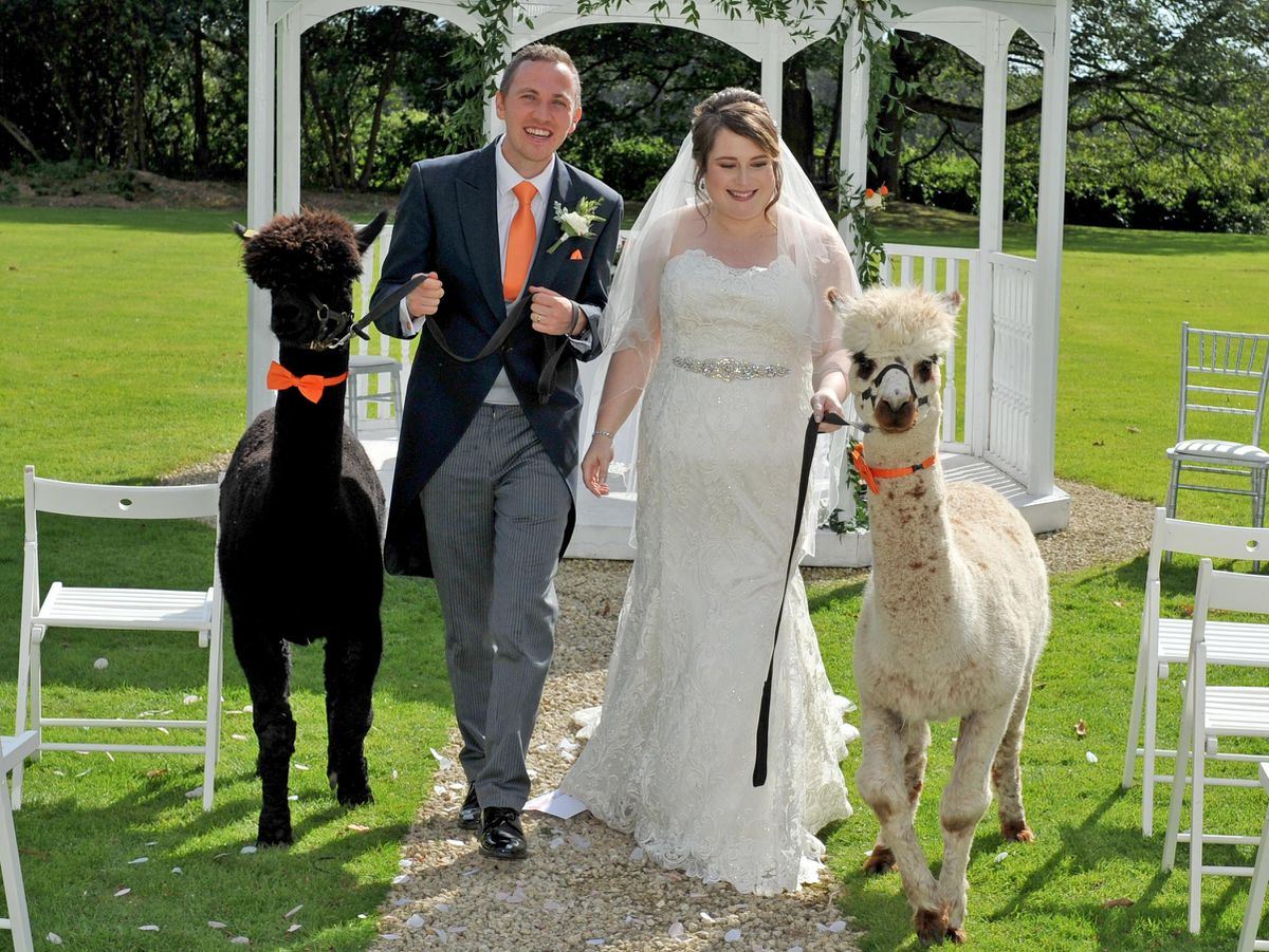 Happy couple Sam and Emily McDonald had two alpacas among their wedding guests when they tied the knot