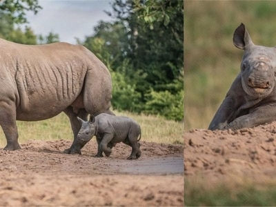This cute baby rhino playing in the sand at Chester Zoo will make your day