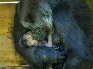 Nine-year-old Kala, a western lowland gorilla, with her 24-hour-old baby in the Gorilla House at Bristol Zoo Gardens