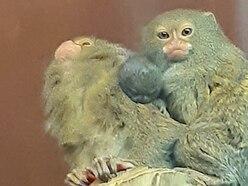 Joy as baby marmosets born at Dudley Zoo