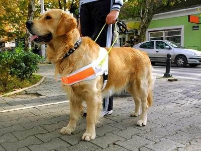 'Wonderful': Dog with glaucoma given his own guide-dog puppy