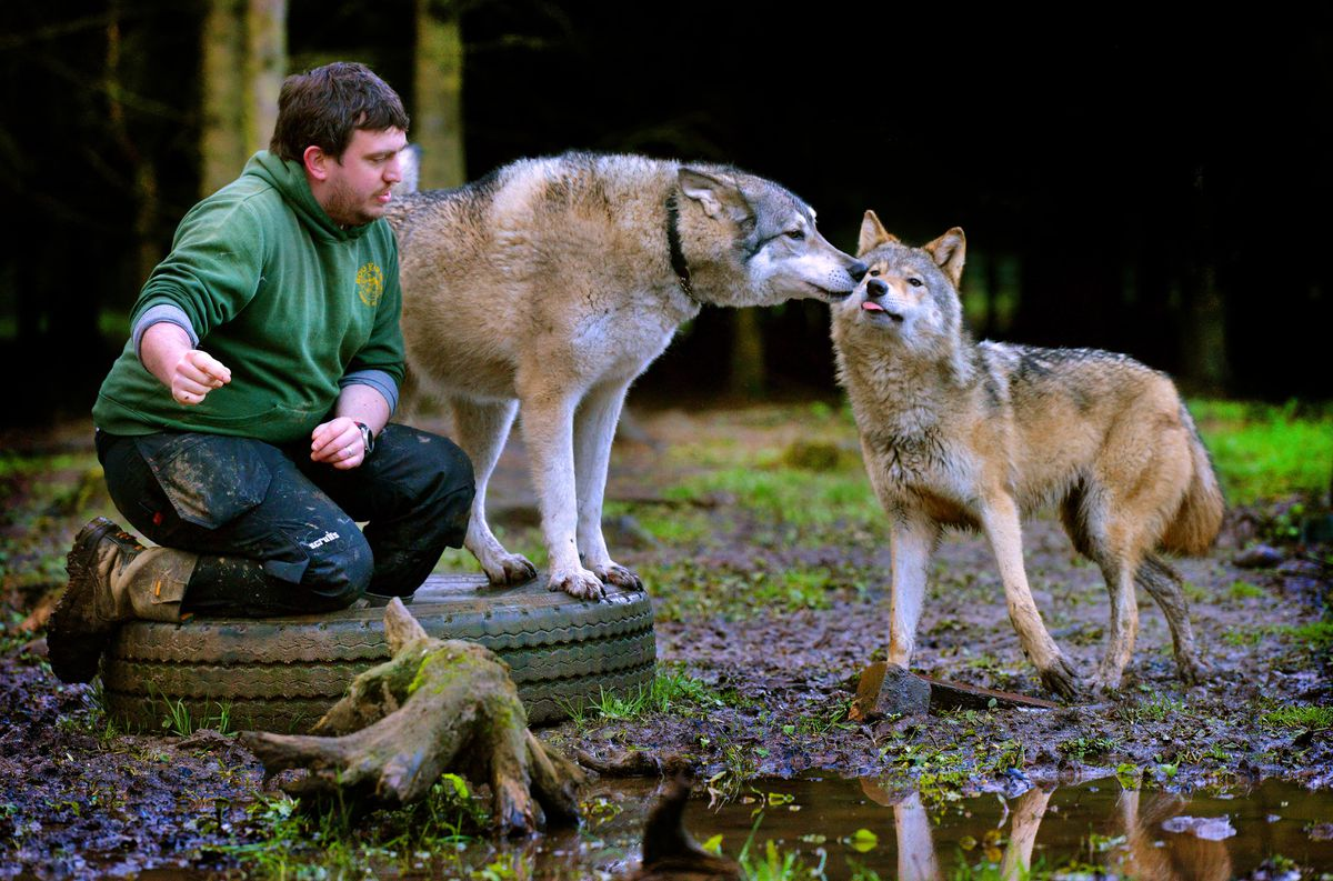 Will Dorrell with Lycan the wolf and Czechoslovakian wolfdog Tala at Hoo Farm