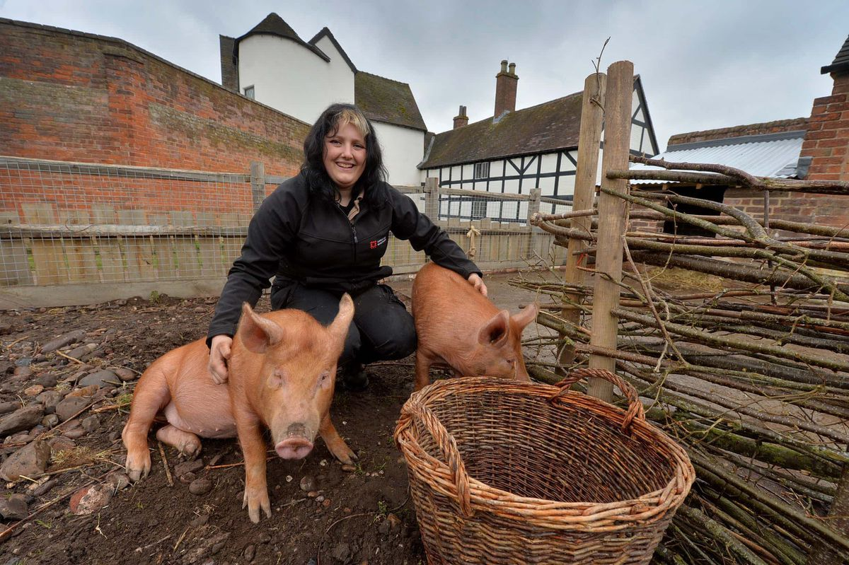 Kyra Povey looking after Tamworth pigs Charlotte and Lucy