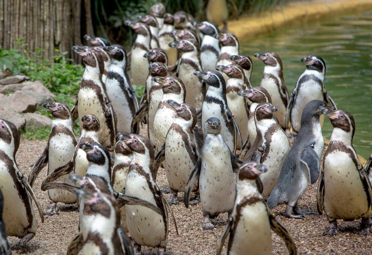 Penguins. Photo: Neil Pugh