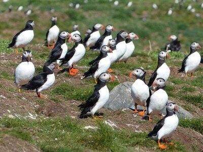 Puffins return to Farne Islands for breeding season