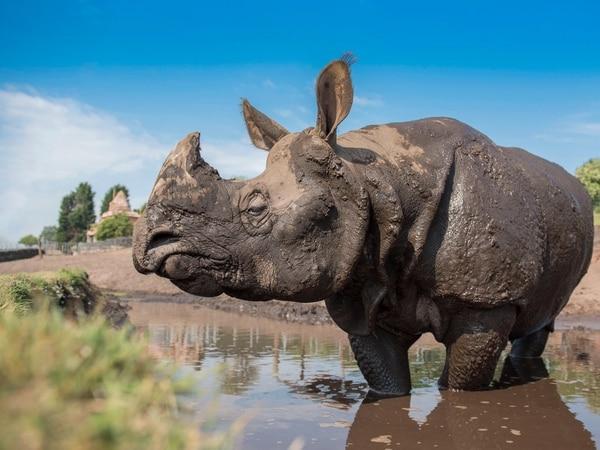 Rap the Rhino celebrates birthday at West Midland Safari Park