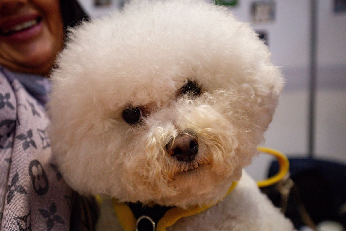 A Bichon Frise at the National Pet Show at the NEC, Birmingham. PA Photo. Picture date: Sunday November 3, 2019.  Photo credit should read: Jacob King/PA Wire.