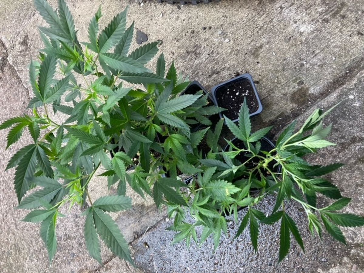 Cannabis plants were seized by police. Photo: Staffordshire Police