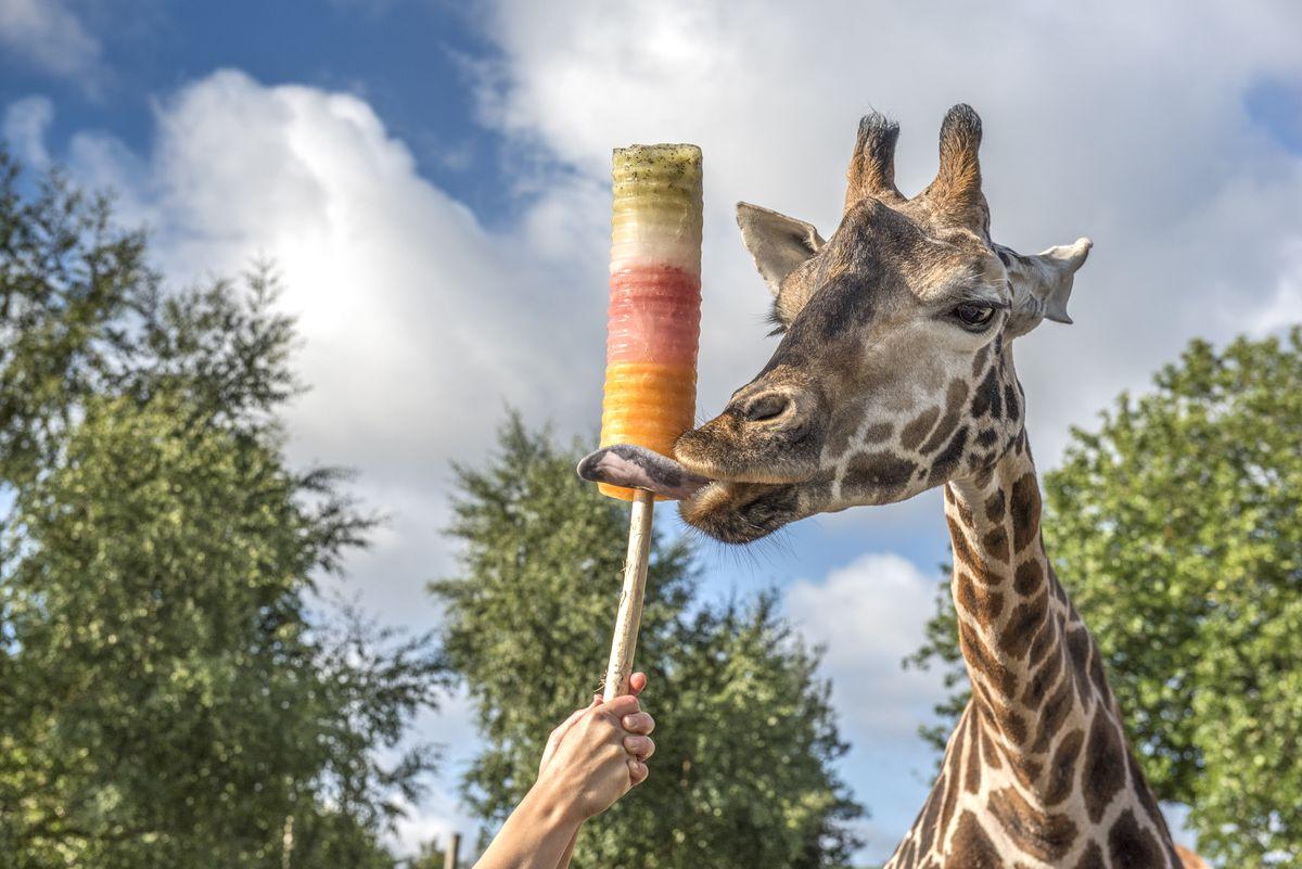 A giraffe enjoying a cooling lolly