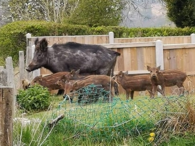 WATCH: Wild boar spotted in Staffordshire 'are first in county'