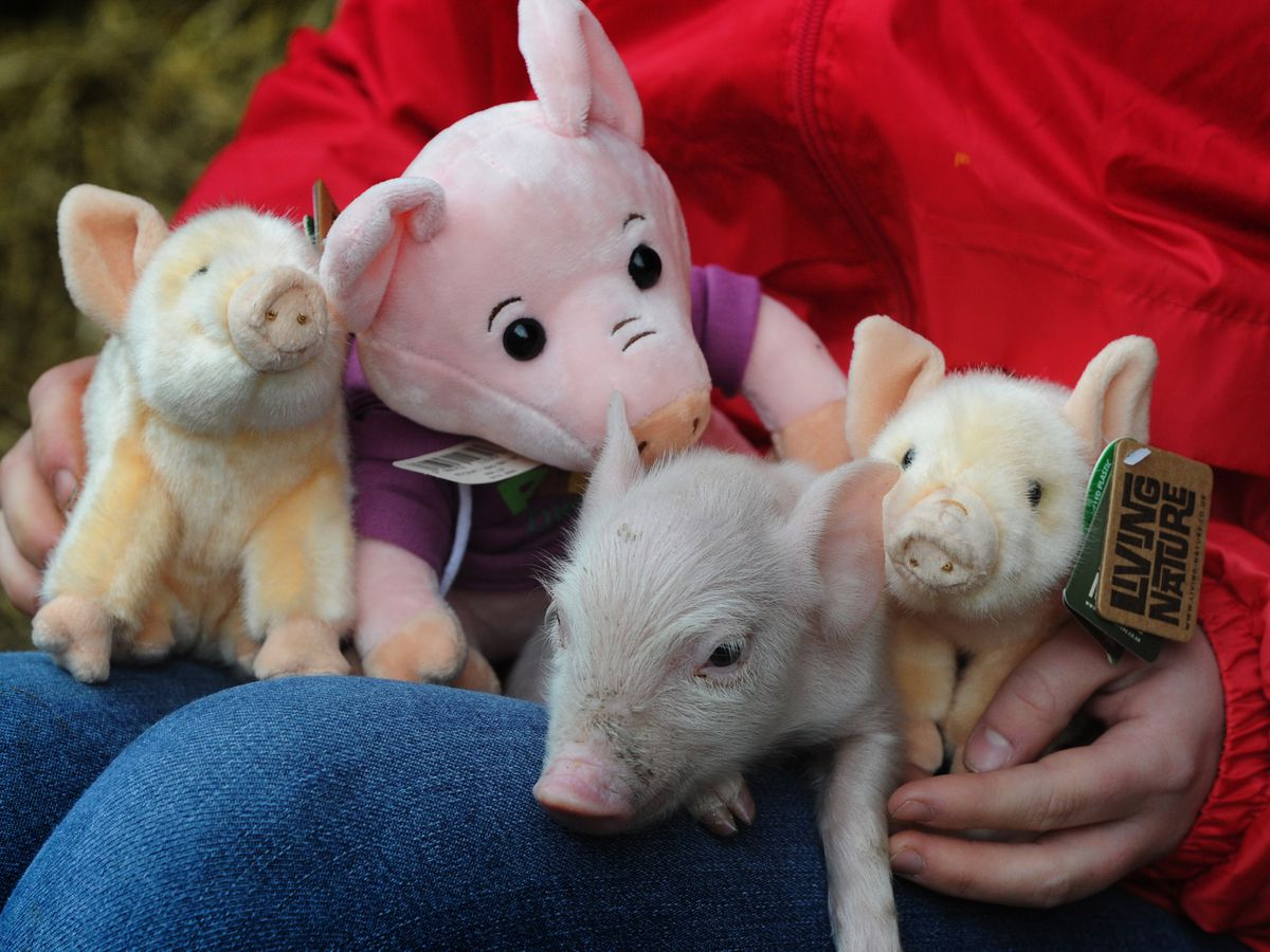 Making new friends, one of the newly born piglets, at Lower Drayton Farm, Penkridge