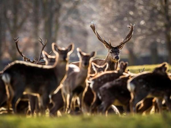 Motorists urged to beware of migrating deer