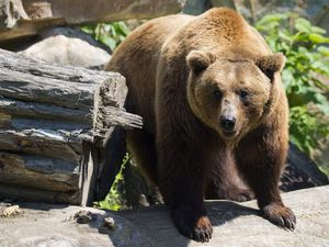 Brown bears are coming back to Dudley Zoo