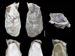 Image of new oyster species Crassotrea (Magallana) saidii