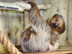Dudley Zoo welcomes two-toed sloth