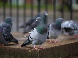 100 pigeons stolen from Cannock coop