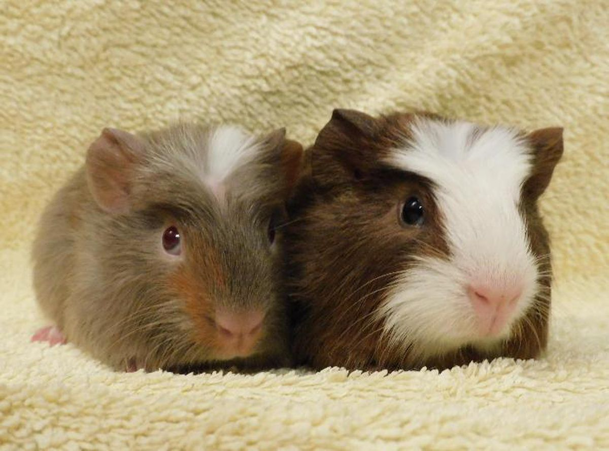 Males Peanut and Pecan were removed from a house where there were more than 100 guinea pigs. Photo: RSPCA