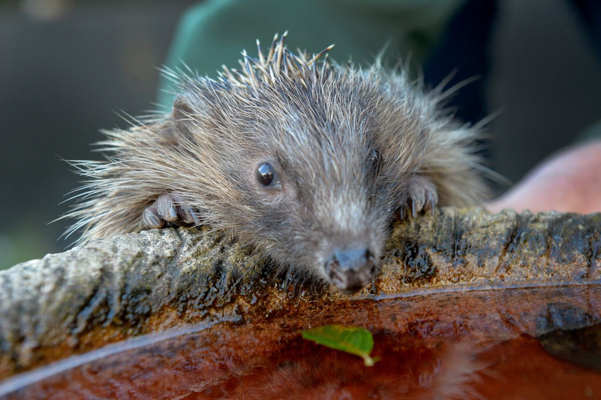 There are fewer than one million hedgehogs left in the UK