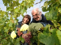 Fingers crossed for a great grape crop at Halfpenny Green Vineyards