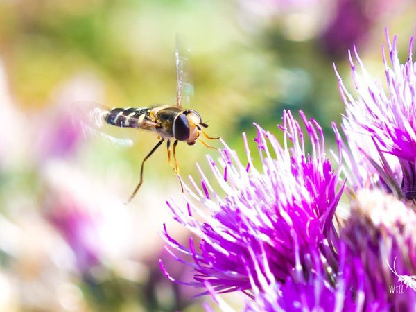 Hoverflies use a combination of the sun and their body clock to navigate when they fly south for the winter (Will Hawkes/University of Exeter/PA)