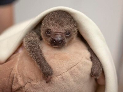 This baby sloth winking at you will melt your heart