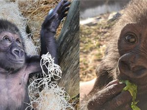 Baby gorilla being hand-reared by keepers at Bristol Zoo 'making good progress'