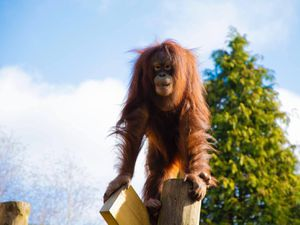 Sprout, the zoo's juvenile orangutan, who recently celebrated her tenth birthday