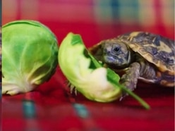 Watch: Can you resist the festive charms of this tortoise eating a sprout?