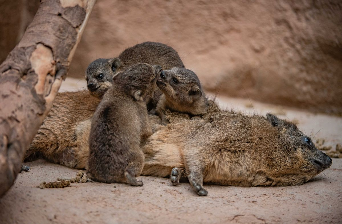 Rock hyrax pups at Chester Zoo