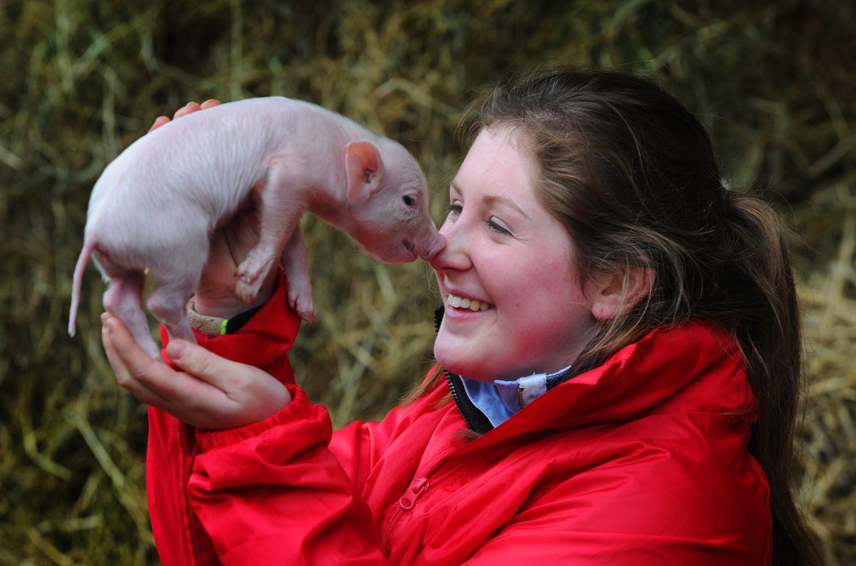 Getting to know one of the newly born piglets, livestock manager Charlotte Male, at Lower Drayton Farm, Penkridge