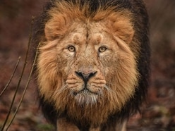 Chester Zoo reveals details of new zone to host world's rarest lions