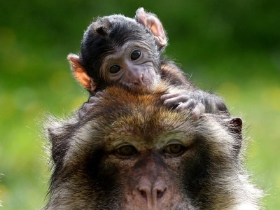 Lack of self-control in adolescence 'not uniquely human', monkey study suggests